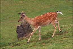 Fallow Deer running.JPG