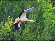 Stork  in flight.JPG