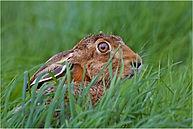 hare hiding in long grass web.JPG