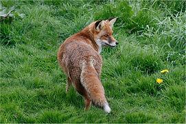Back view of fox.JPG