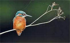 male Kingfisher on cobwebbed stalks.JPG