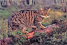 wild cat.JPG