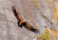 Vulture soaring near cliffs.JPG