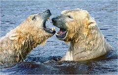 Polar bears fighting.JPG