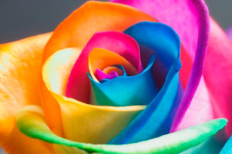 Rainbow rose indicating LGBTQ-friendly practice