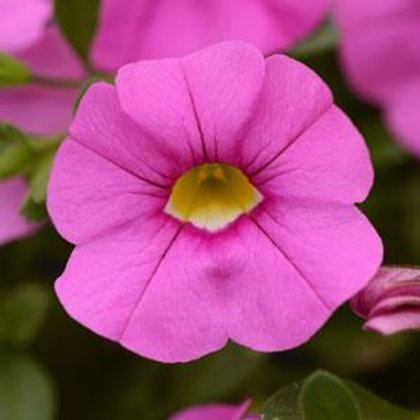 10 light pink million bells (Calibrachoa)