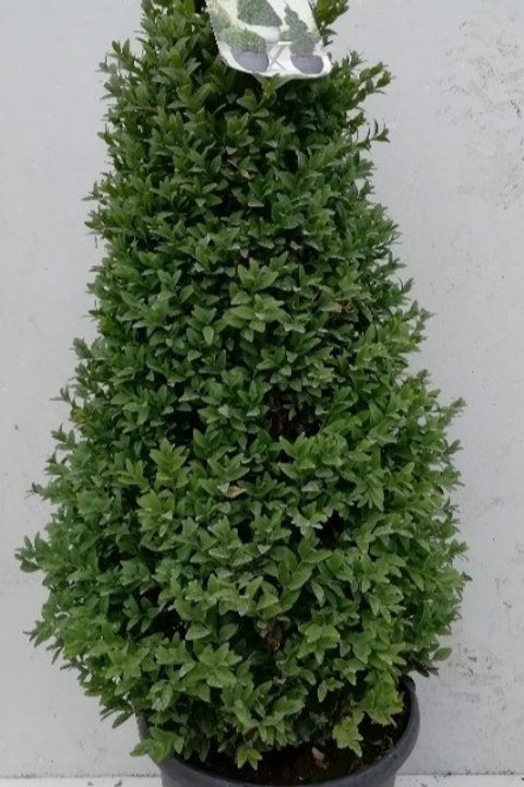 Buxus cone