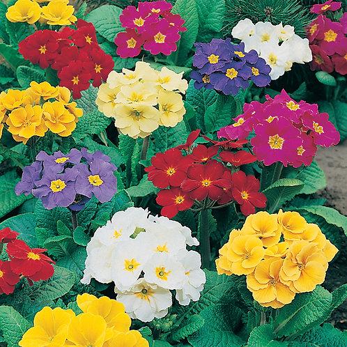 12 Polyanthus pots