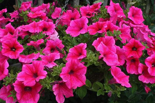 """Bright hot pink surfinia 14"""" hanging basket"""