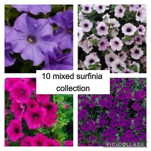 10 mixed surfinia (trailing petunia) colours may vary
