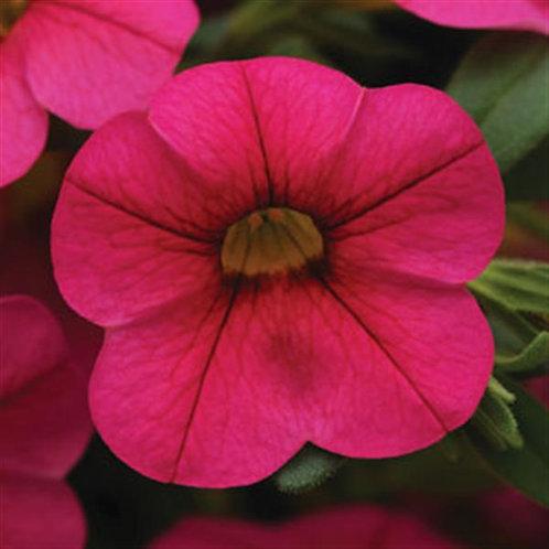 10 hot pink million bells  (Calibrachoa)