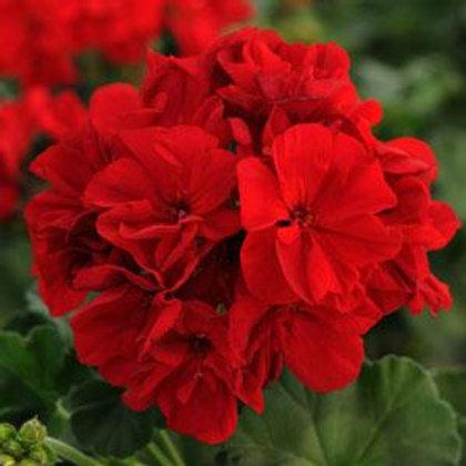 10 dark red upright geraniums