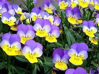 Violas 6 pack