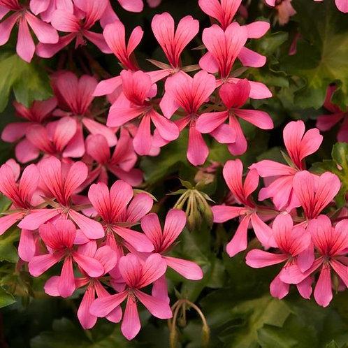 10 rose single trailing geraniums
