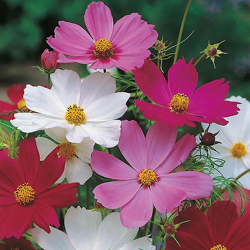 Cosmos sensation mixed