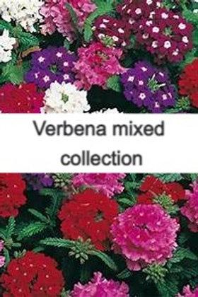 Verbena mixed colours 10 plants
