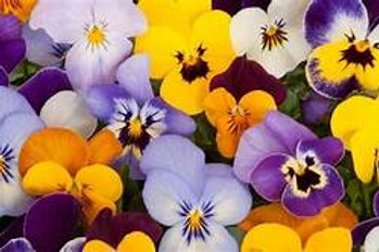 4 x 6-packs Pansies mixed colours