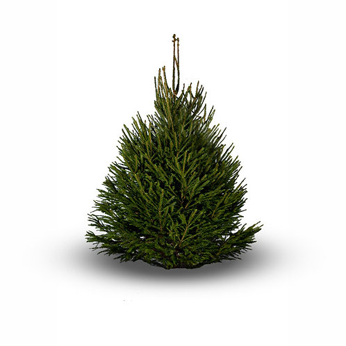 Small Norway spruce  5-7ft