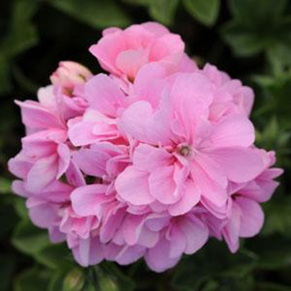 10 light pink trailing geraniums