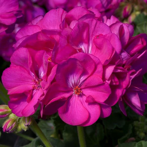 10 purple geraniums