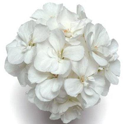 10 white upright geraniums