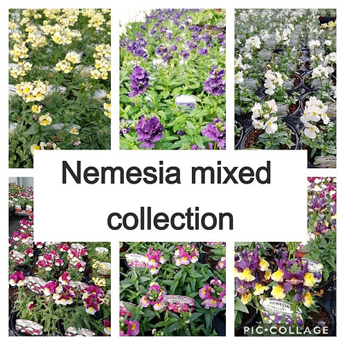 Nemesia - mixed collection of 10 plants