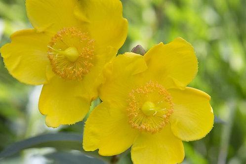 Hypericum forrestii Hidcote