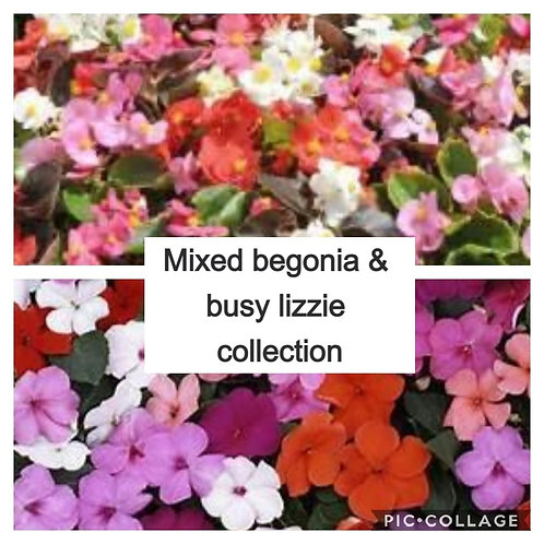 7 mixed packs begonia & busy Lizzies (mixed colours)