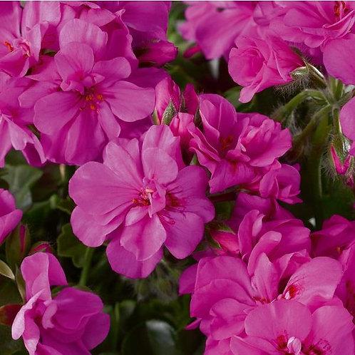 10 amethyst trailing geraniums