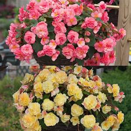 10 mixed trailing begonias, only certain colours available