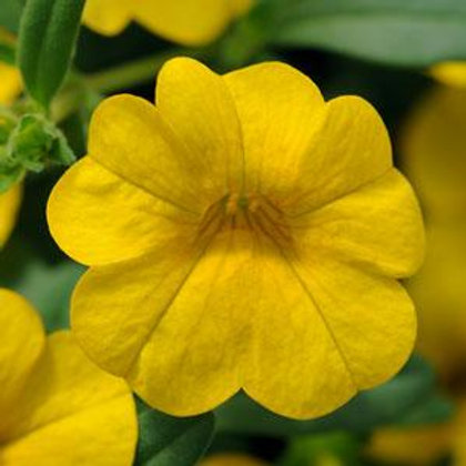 10 yellow million bells  (Calibrachoa)