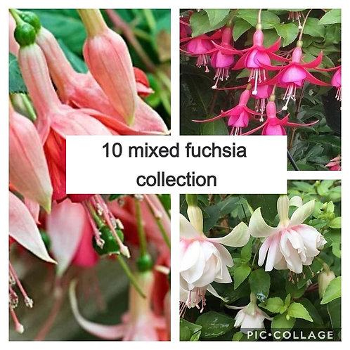 Mixed fuchsia collection 10 plants
