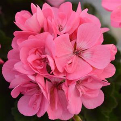 10 pink upright geraniums