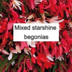 Mixed Starshine begonias 5 plants