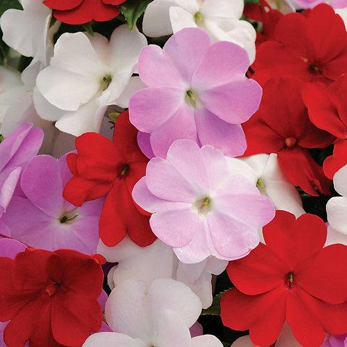 New Guinea Impatiens Mixed colours 6 plants
