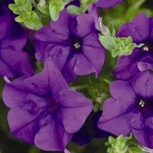 """14"""" purple surfinia hanging basket"""