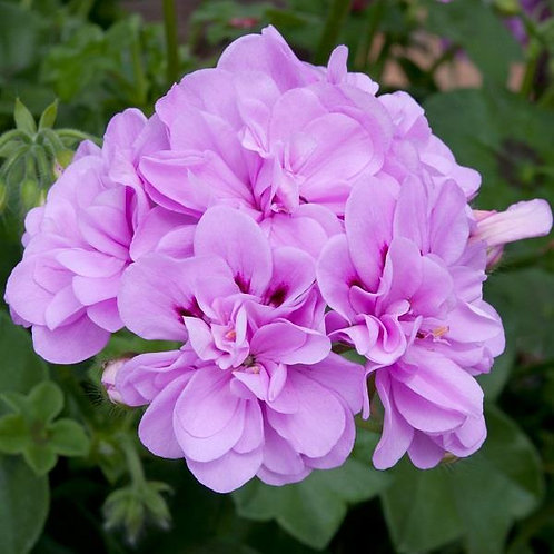 10 bright lilac trailing geraniums