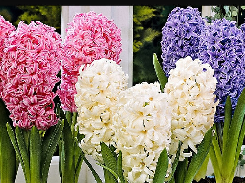 Hyacinth 3 bulbs in plastic pot