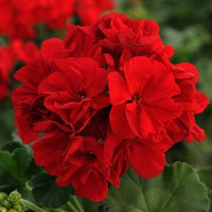 10 hot pink upright geraniums