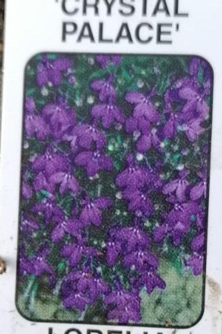 Lobelia crystal palace pack of 10 plants