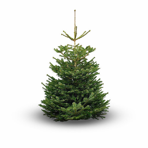 7-8ft Nordmann non-drop Christmas tree  (orange label)