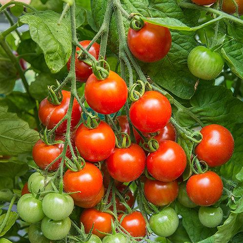 Gardener's delight tomato seeds