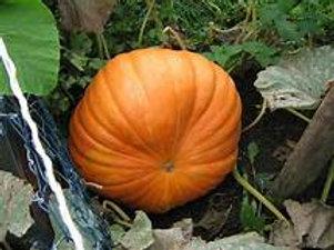Pumpkin seeds Atlantic giant