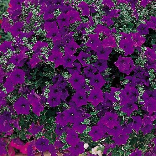 10 purple surfinia (trailing petunia)
