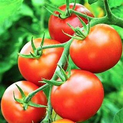 Tomato plant Moneymaker