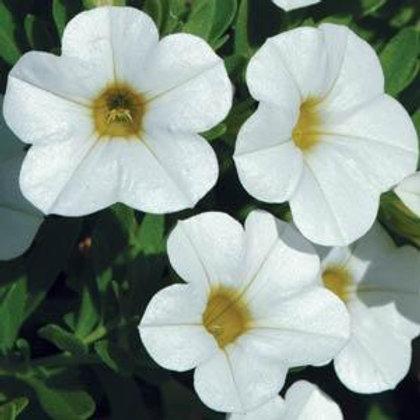 10 white million bells (Calibrachoa)