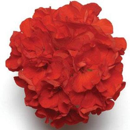 10 scarlet geraniums