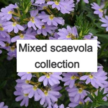 6 plant Scaevola trailing collection