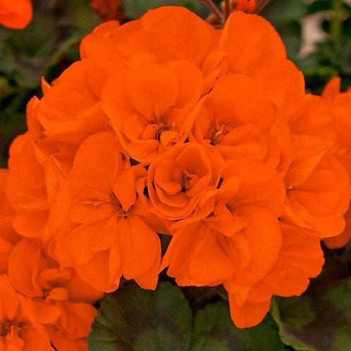10 orange upright geraniums