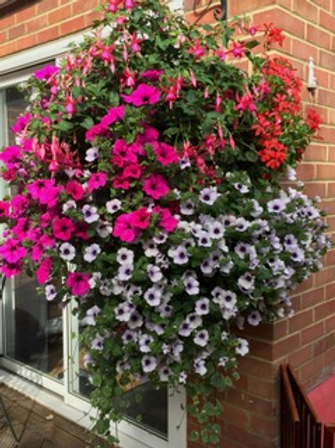 "Pretty Polly NEW 16"" hanging basket bright pink/purple/white"